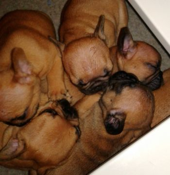 Litter Of 6 French Bulldog Puppies For Sale In Buford Ga Adn