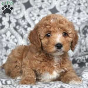 Mini Goldendoodle Puppies For Sale Mini Goldendoodle Puppies Goldendoodle Puppy Goldendoodle Puppy For Sale