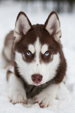 Siberian Husky Icy Blue Eyes Draw You Into Its Soul That Speaks