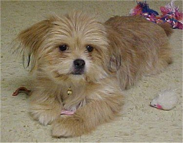 Sophie The Yorkie Pek Mix Yorkinese At 6 Months Old