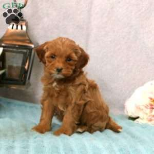 Cavapoo Puppies For Sale Cavapoo Dog Breed Info Greenfield Puppies Cavapoo Puppies Cavapoo Puppies For Sale Cavapoo