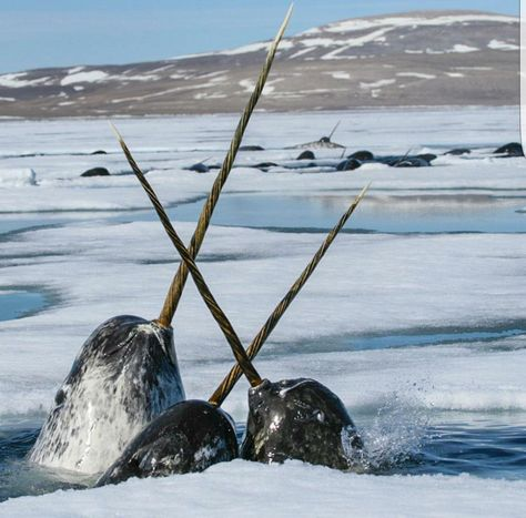 Narwhals jockey for position and gently cross tusks as they push for a breath of air . They are diving under the sea ice in an attempt to access the thick schools of polar cod. Photo Animaliere, Photo D Art, Beautiful Creatures, Animals Beautiful, Water Animals, Wale, Delphine, Mundo Animal, Ocean Life
