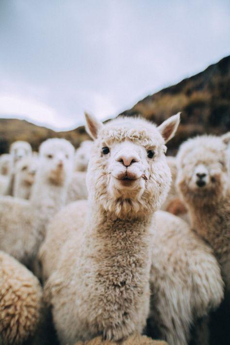 lama animal The Ultimate Guide to Peru - Central America amp; Alpacas, Cute Little Animals, Cute Funny Animals, Wiesel Tier, Farm Animals, Animals And Pets, Happy Animals, Nature Animals, Cute Alpaca