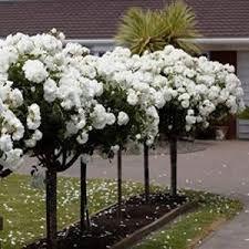 One DOZEN WHITE ROSE TREE seeds