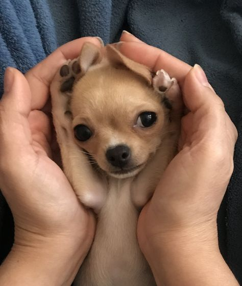 Chihuahua Puppies, Cute Dogs And Puppies, Funny Chihuahua, Cute Animal Photos, Funny Animal Pictures, Cute Funny Animals, Cute Baby Animals, Animals Beautiful, Pets