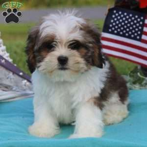 Cava Tzu Puppies For Sale Cava Tzu Pups Greenfield Puppies Shih Tzu Shih Tzu Puppy Puppies For Sale