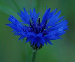 Cornflower Dark Blue Centaurea Cyanus Seeds Organic Dark Blue Flowers Blue Flowers Cornflower