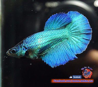 Live Betta Fish Female Metallic Turquoise Halfmoon Hm 2873 Betta Betta Fish Fish