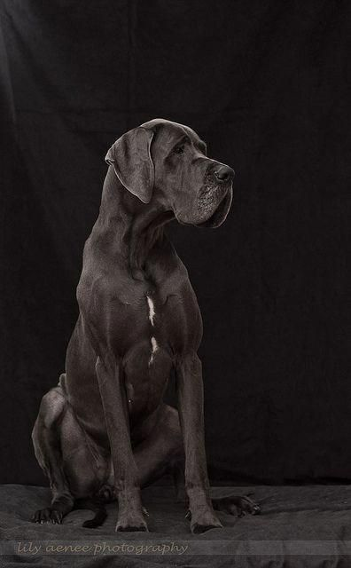 The Elegant Great Dane Puppies Size Greatdanesleeping