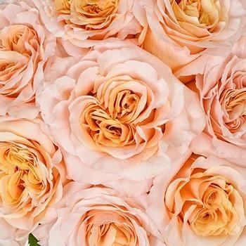 Pink Champagne Shimmer Bulk Rose In 2021 Bulk Roses Peach Pink Wedding Wholesale Flowers
