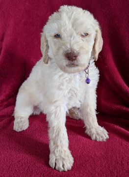 Litter Of 9 Labradoodle Puppies For Sale In Wentzville Mo Adn