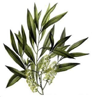 Tea Tree, TeaTree essentiële olie doodt vele bacteriën, schimmels en virussen en kan het gif neutraliseren van vele soorten kleine insecten.