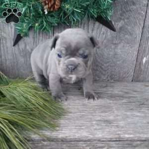 French Bulldog Puppies For Sale Frenchie Puppies Bulldog