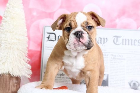English Bulldog Puppy For Sale In Bel Air Md Adn 70524 On