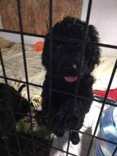 Female 1 Goldendoodle Puppy For Sale In Darlington Wisconsin