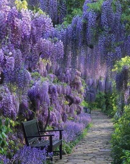 Beautiful serenity of wisteria garden.