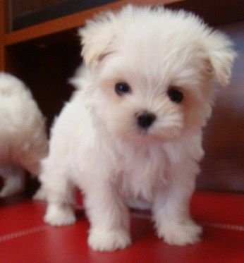 Free Ads Eu Dogs Classifieds Teacup Size Maltese Puppies For