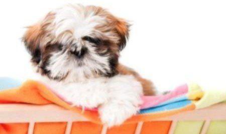 Shih Tzu Age Chart Yorkiepuppyweightchart With Images Shih Tzu Grooming Shih Tzu Puppy Shih Tzu Training
