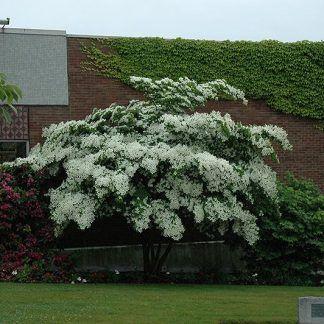 Products Tree Nursery Specimen Trees