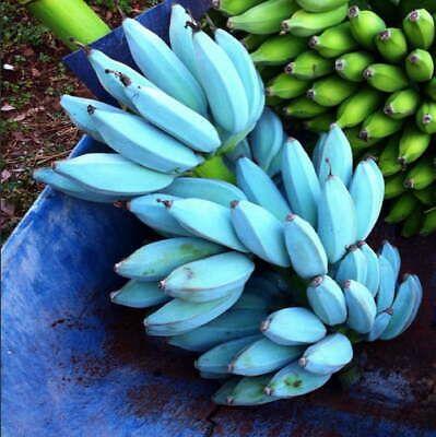 Blue Java Ice Cream Banana 6 Pot Musa Acuminata X Balbisiana Tropical Rare Banana Ice Cream Banana Vanilla Ice Cream