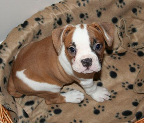 American Bulldog Puppy I Wish Mine Was Still This Tiny