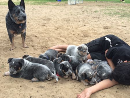 Acdacres Perth Breeder Of Australian Cattle Dogs Blue Heelers Doglover Austrailian Cattle Dog Australian Cattle Dog Blue Heeler Blue Heeler Dogs