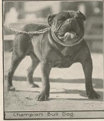 Champion Bulldog 22 August 1914 The Brisbane Show Bulldog