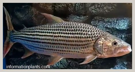 رشال تنزاني Hydrocynus Tanzaniae قسم انواع الاسماك انواع الاسماك انواع الاسماك مع الصور معلوماتية نبات حيوان اسماك فوائد Fish Pet Fish Pets