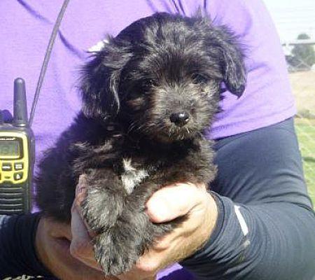 Lathrop Ca Tibetan Spaniel Meet Han A Dog For Adoption