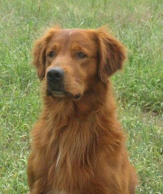I Will Get A Red Golden Retriever One Day Red Retriever Dog