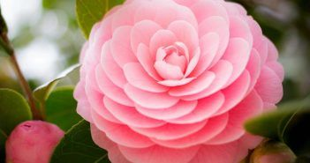Camellia Flowers Hd Wallpapers Hdviewer 2 Flower Wallpaper Flower Images Wallpapers Beautiful Flowers Pictures