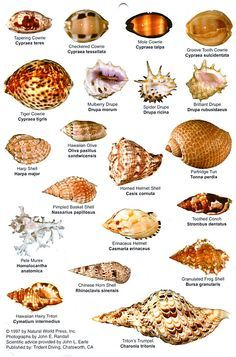 Marco Island Shell Identification Google Search Sea Shells Shells Seashell Identification