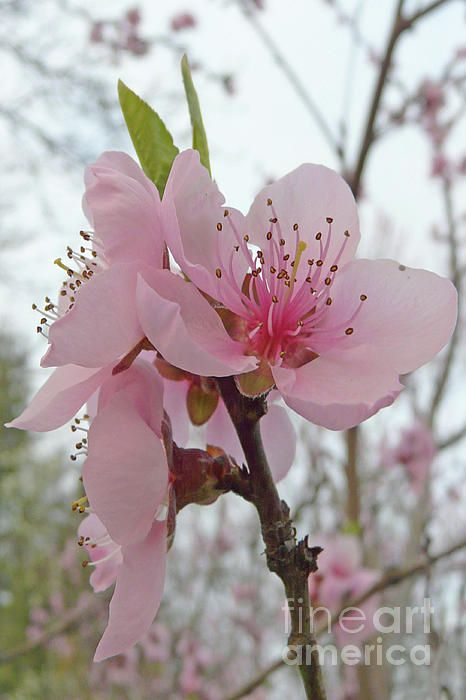 Peach Blossom By Jasna Dragun Of Fine Art America Peach Blossom Flower Peach Blossoms Peach Blossom Tree