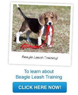 Beagle Leash Training Beagle Adoptable Beagle Beagle Puppy