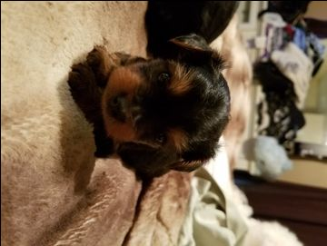 Litter Of 2 Yorkshire Terrier Puppies For Sale In Charles Town Wv Adn 33773 On Puppyfinder Com G Yorkshire Terrier Yorkshire Terrier Puppies Puppies For Sale