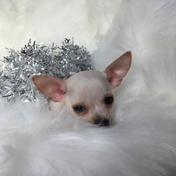 Chihuahua Puppy For Sale In Houston Tx Adn 58711 On Puppyfinder