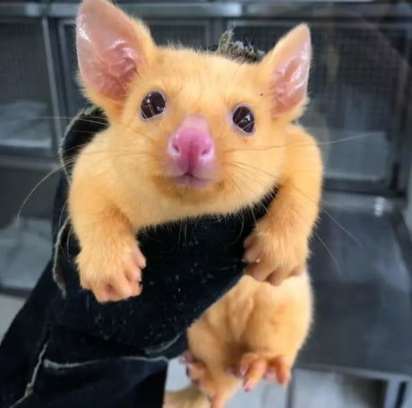 This Mutated Golden Possum Is The Real Life Pikachu Animals Australian Possum Cute Animals