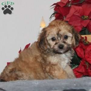 Cavachon Puppies For Sale Cavachon Dog Breed With Images