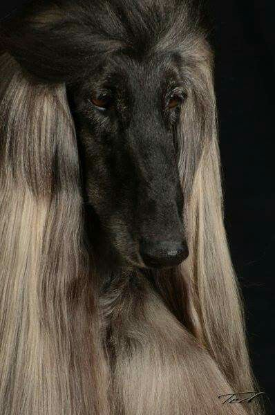 Magnificent Afghan Hound Hound Dog Most Beautiful Dogs