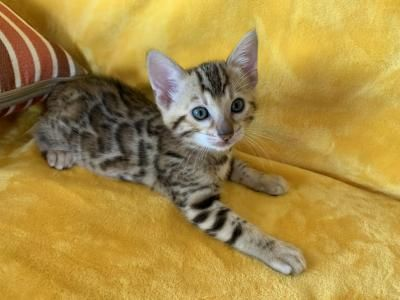 Looking For A Little Lap Leopard We Have Them We Are Between Portland Oregon And Seattle Washingt Bengal Kitten Bengal Cat Kitten Bengal Kittens For Sale