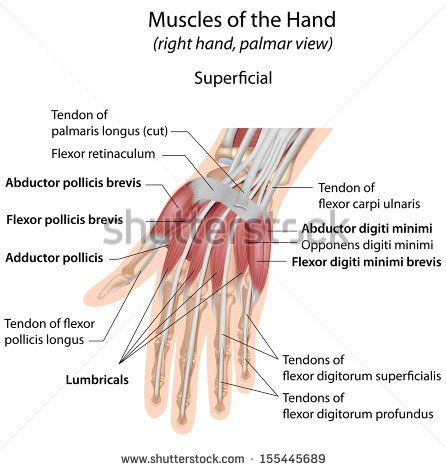 Hand Muscles Palmar Aspect Superficial Labeled Muscular System Anatomy Muscle