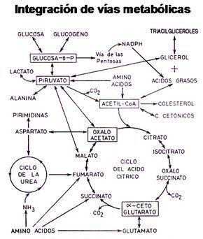 El ciclo tca intermedia los precursores de la diabetes