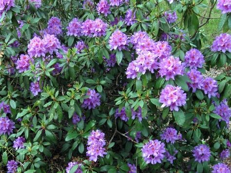Bosrhododendron Latijn Rhododendron Ponticum Tuin Planten