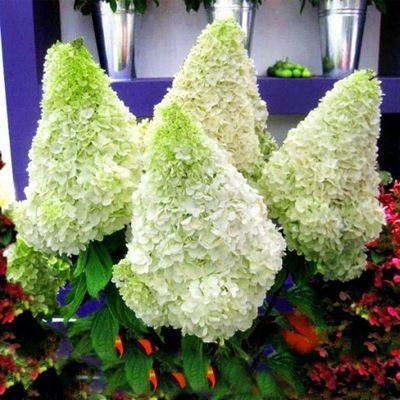 Hortensje Bukietowe Przeglad Nowych Odmian Garden Hydrangea
