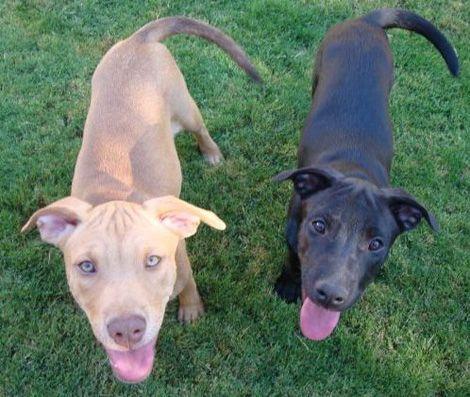 Pitbull German Shepherd Mix I Need One Dog People Dog