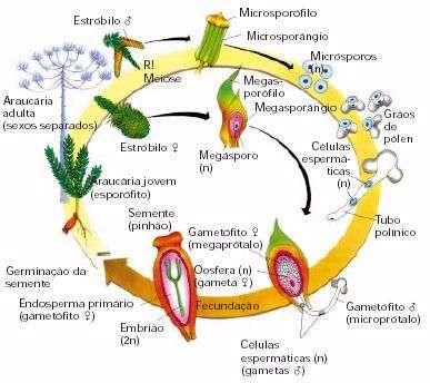 Gimnospermas So Biologia Gimnospermas Biologia Relacoes