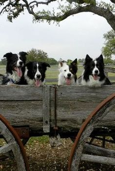 Border Collies In A Wagon Dogborders Border Collie Dog Collie Dog Dogs