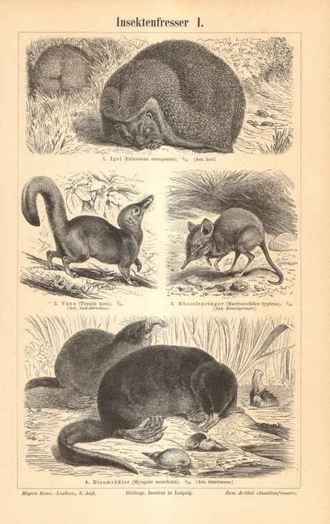 1904 Insect Eating Mammals Original Antique Engraving to Frame