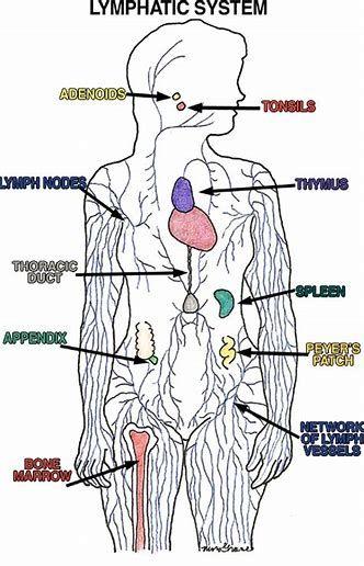 Image Result For Lymphatic System Diagram Lymphatic System Anatomy Lymph Massage Lymphatic System Diagram