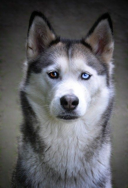 So Beautiful Siberian Husky Dog Husky Dogs Siberian Husky